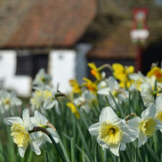 Thriplow daffodils and smithy