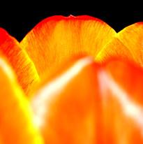 Orange tulip petals