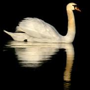 White swan on black water