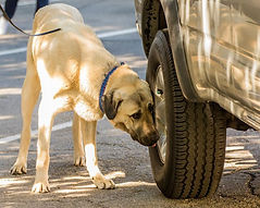 Breaker - An Anatolian Shepherd doing a vehicle search in a Nose Work Class