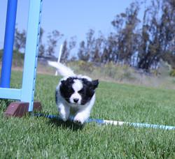 Puppy/Beginning Agility
