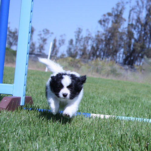 Pre- Agility / Baby Puppy Class