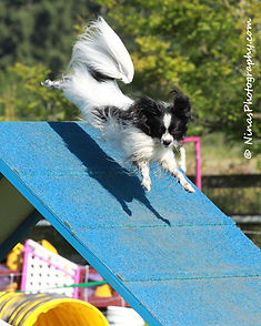 Masher the Papillon doing the A Frame in agility