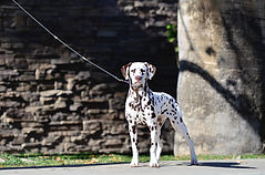 Dreamy ~ A Dalmatian striking a pose at a conformation show