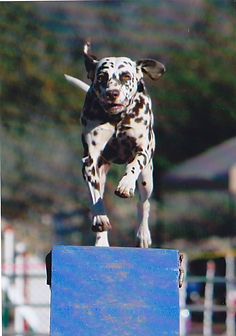 Ella ~ A Dalmatian running the Dog Walk in Agility