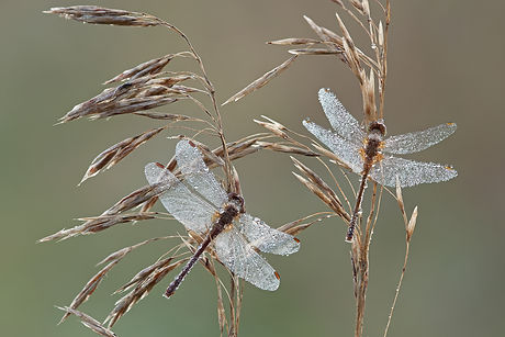 Canva - Dew Covered Dragonflies.jpg