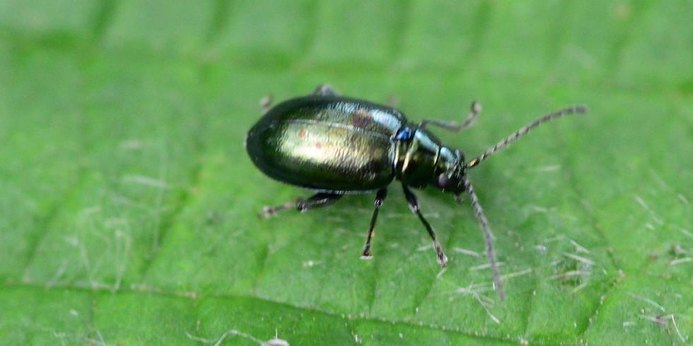 Flea Beetle Zoom Seminar