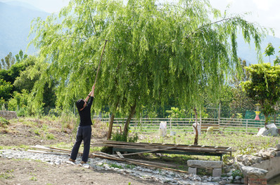 Comb the Willow Leaves