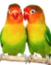 cute-love-birds-parrot-beautiful_103484.