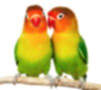 cute-love-birds-parrot-beautiful_103484.