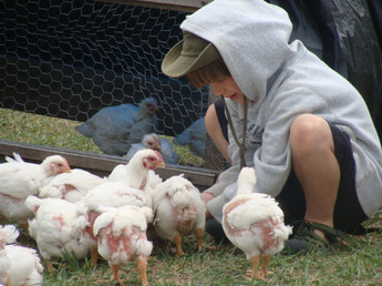 chicken siris.JPG