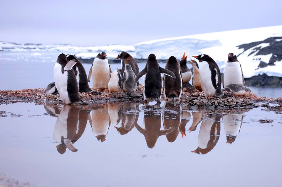 Pingüinos jugando