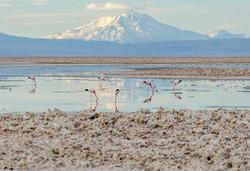Flamencos laguna Chaxa - Salar
