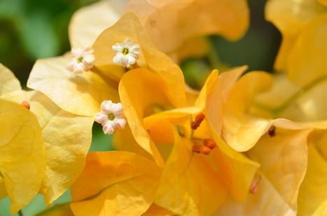 Blume Villea