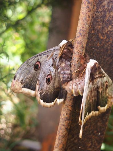 Peacock moths
