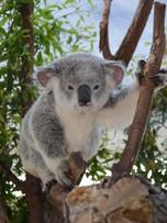 Nooka the Koala