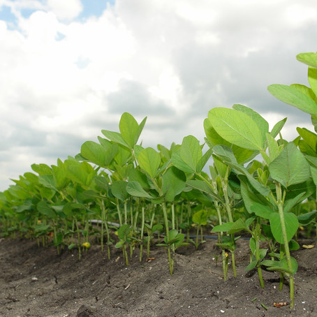 Why we should be Soy Sad about the Soy Industry's Effect on the Tropics