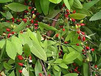 Cuckoo for Coca: The Misunderstood Plant