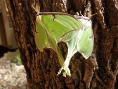 new Luna Moths in my garden (3).JPG