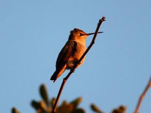 Anna's Hummingbird in the Sunset