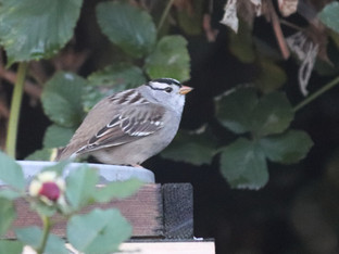 Cute White-Crowned Sparrow