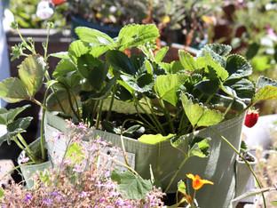 A bloem BAGZ strawberry planter