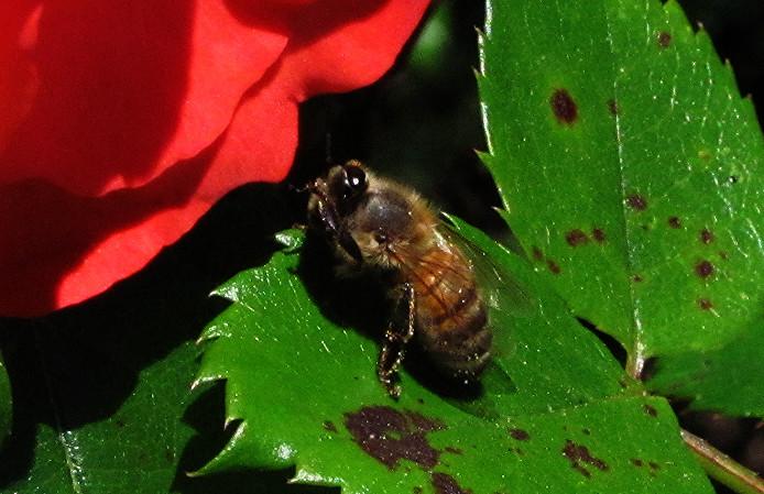 honey bee cleaning on marmalade skies leaf 4_edited.JPG