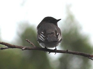Black Phoebe eats a Checkerspot Butterfly