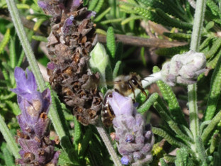 Mining Bee and the lavender plant