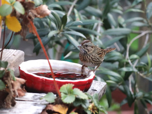Golden-crowned Sparrow checking out the water sources