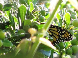 Releasing the monarch butterfly