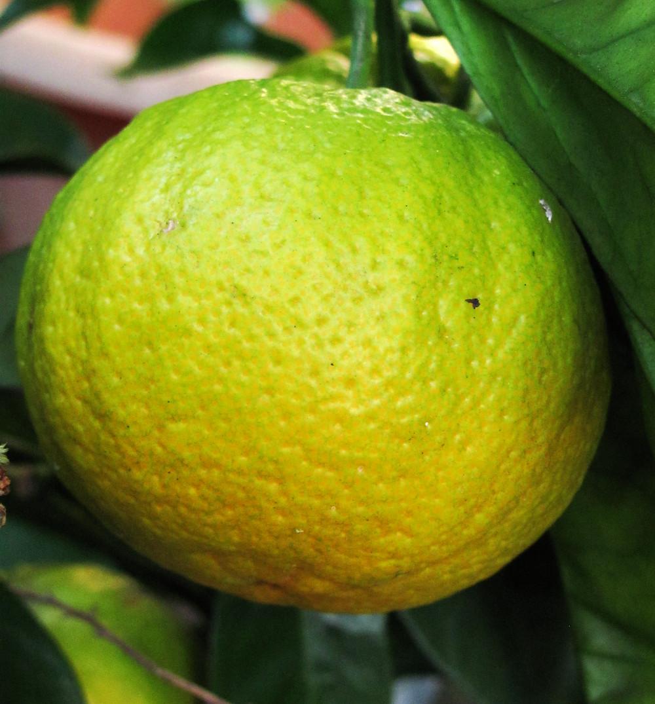 dwarf Valencia orange_edited.JPG