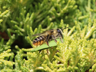 Leafcutting Bee carrying a big Piece of Leaf