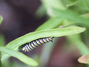 The Monarchs are back!