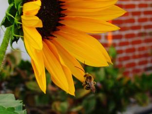 Summer Long Horned Bee sleeping in the sunflower