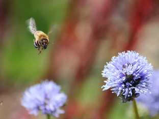 Here comes the honey bee, straight for a Blue Thimble flower globe