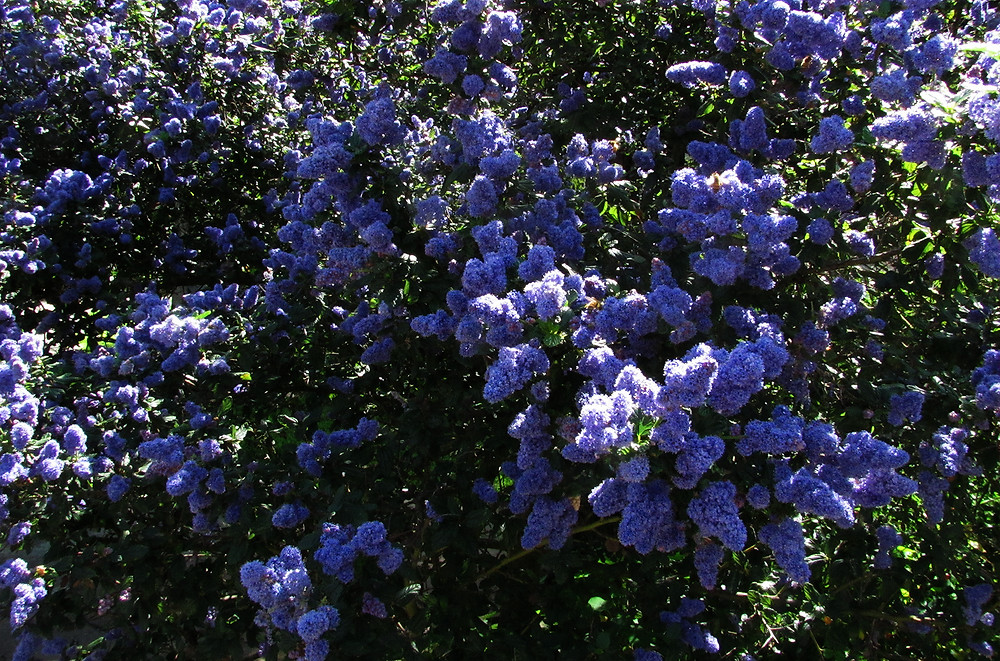 ceanothus with bees_edited.JPG