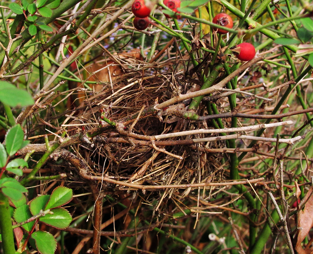 bird nest in the rosebush now_edited.JPG