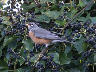 American Robin eating Ivy Berries