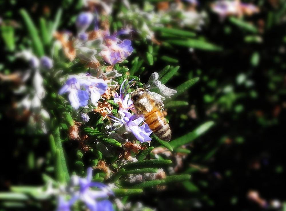 honeybee in the rosemary_edited.JPG