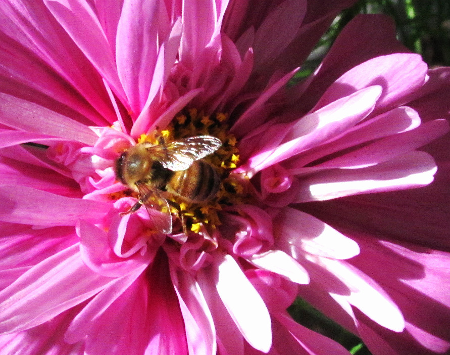 honey bee in the middle of prom dress cosmos_edited.JPG