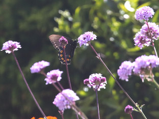 Pipevine Swallowtail on the Verbena De La Mina