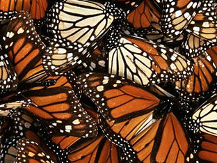 Fascinating podcast from BBC Radio 3 about the monarch butterfly's journey