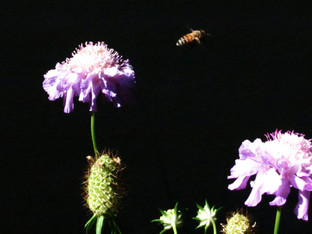 Honey Bees on the Fourth of July