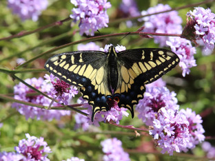 Another Anise Swallowtail visits