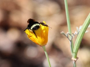 Yellow-Faced Bumble Bees at work
