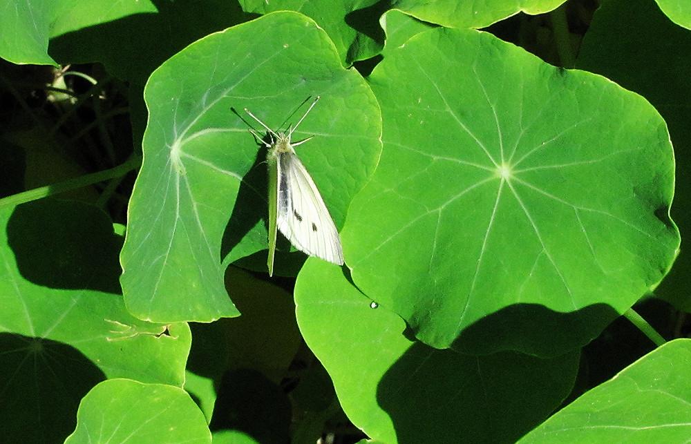 cabbage moth on nasturtium leaf_edited.JPG