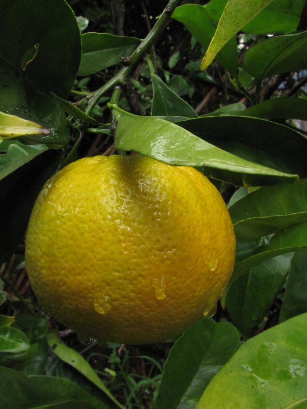 valencia orange.JPG