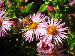 Bees in the climbing aster blossoms