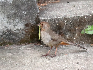 California Towhee and the India Walking Stick